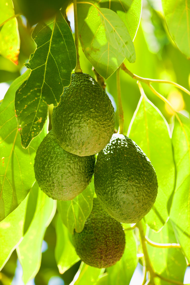 Avocado_Fruit_Tree