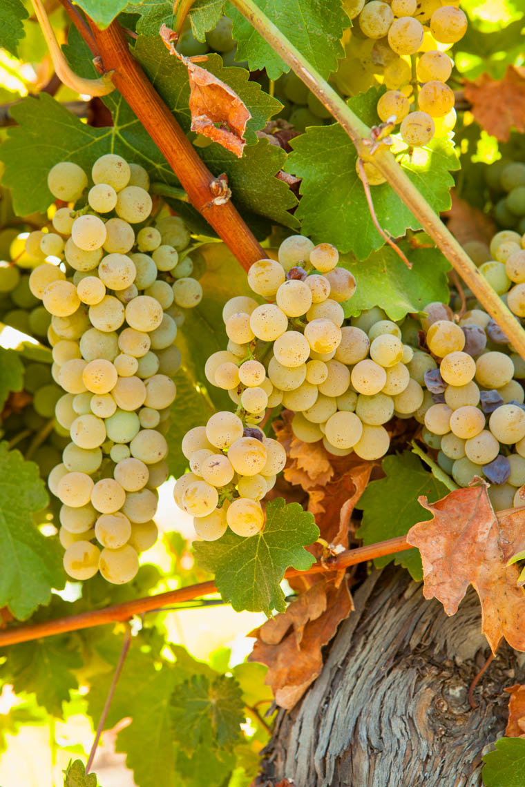 Food_Sauvignon_Blanc_Grapes