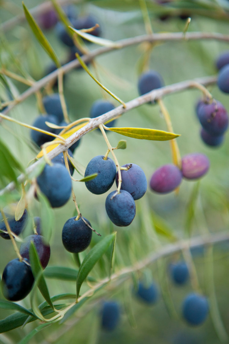 Olive_Fruit_Tree