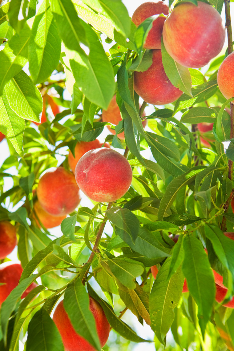 Peaches_Fruit_Tree