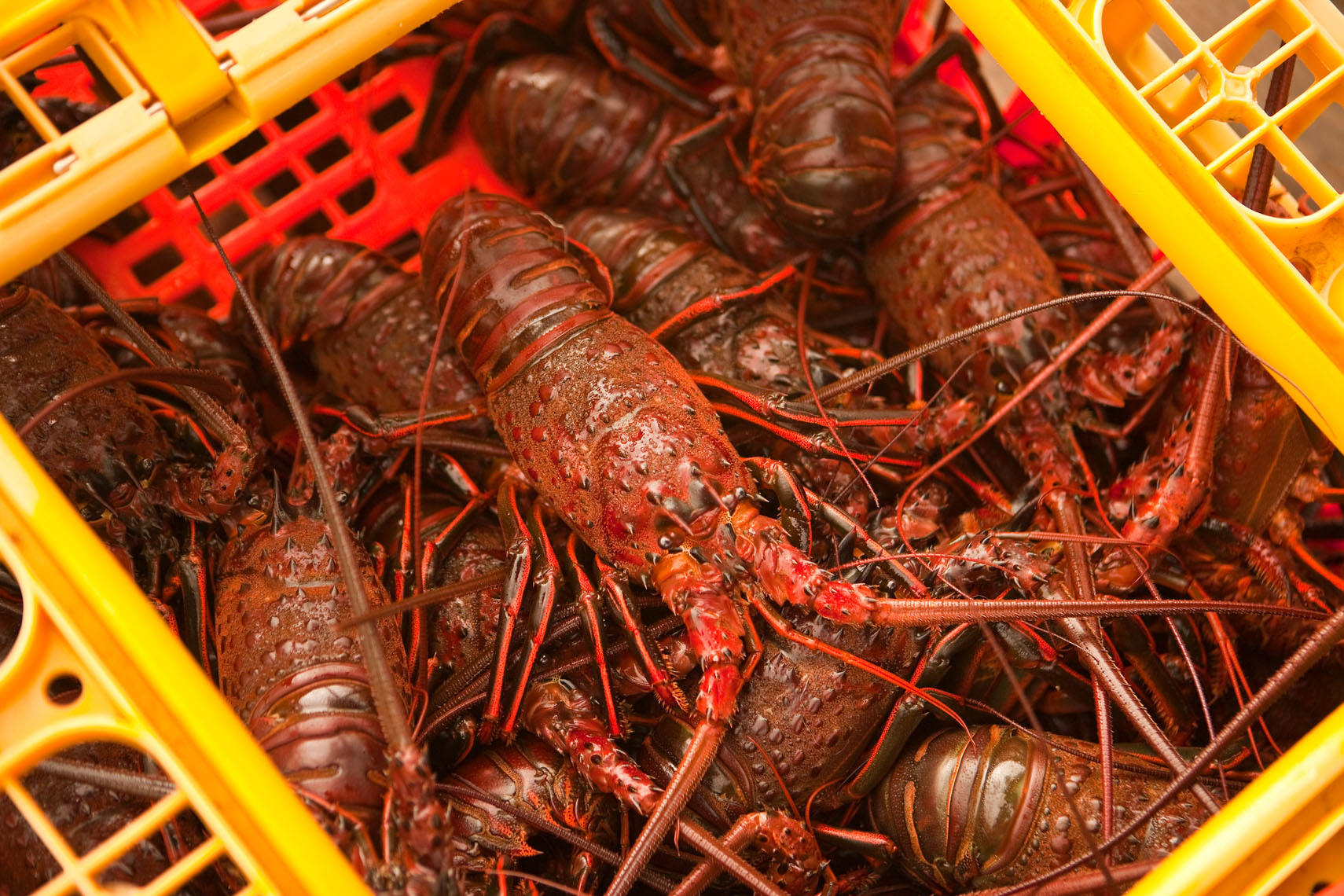 Seafood_Lobster