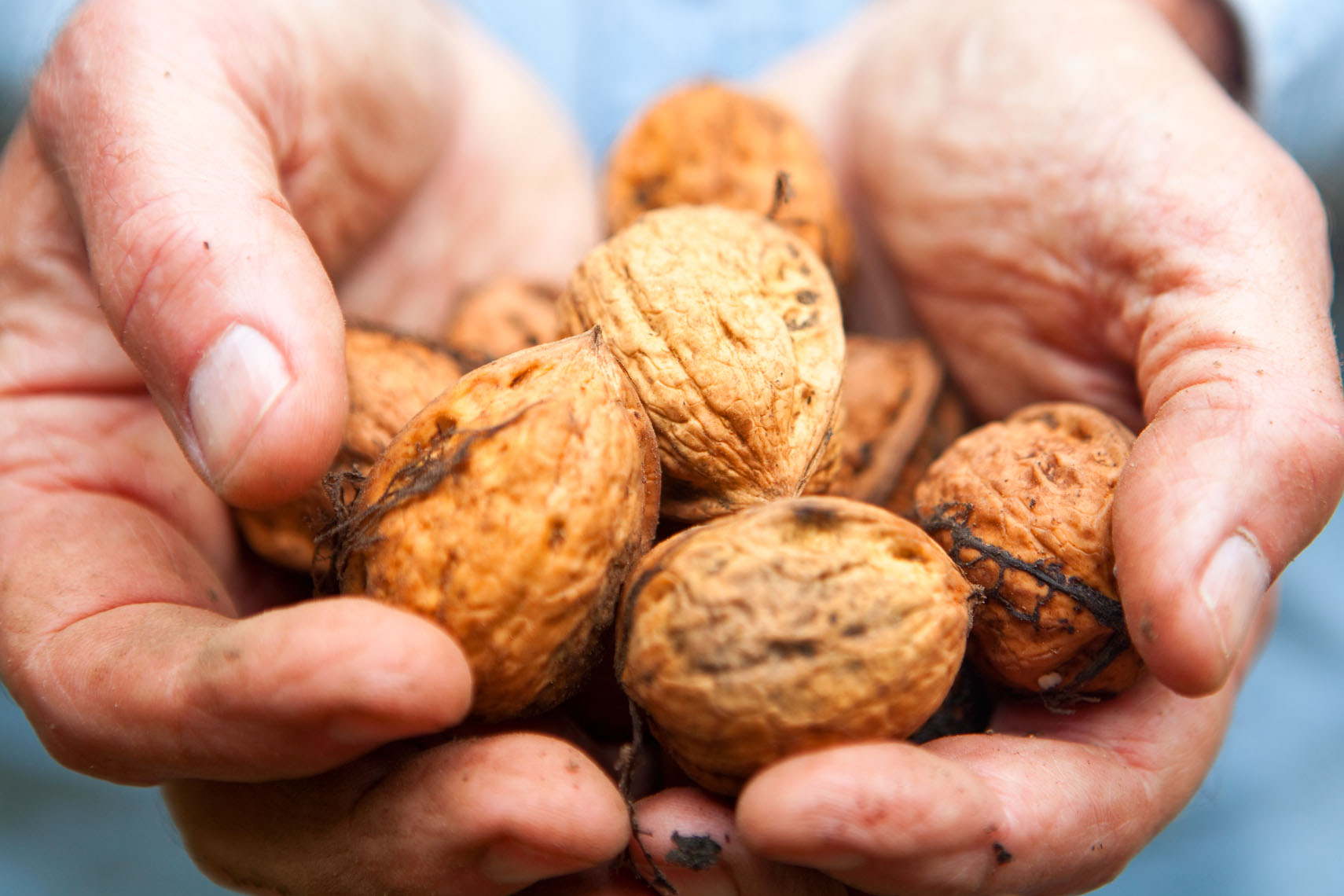 hands holding walnuts