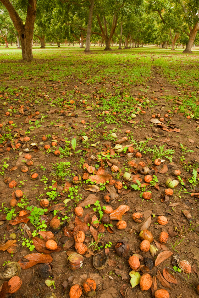 Walnuts_Harvest_Orchard