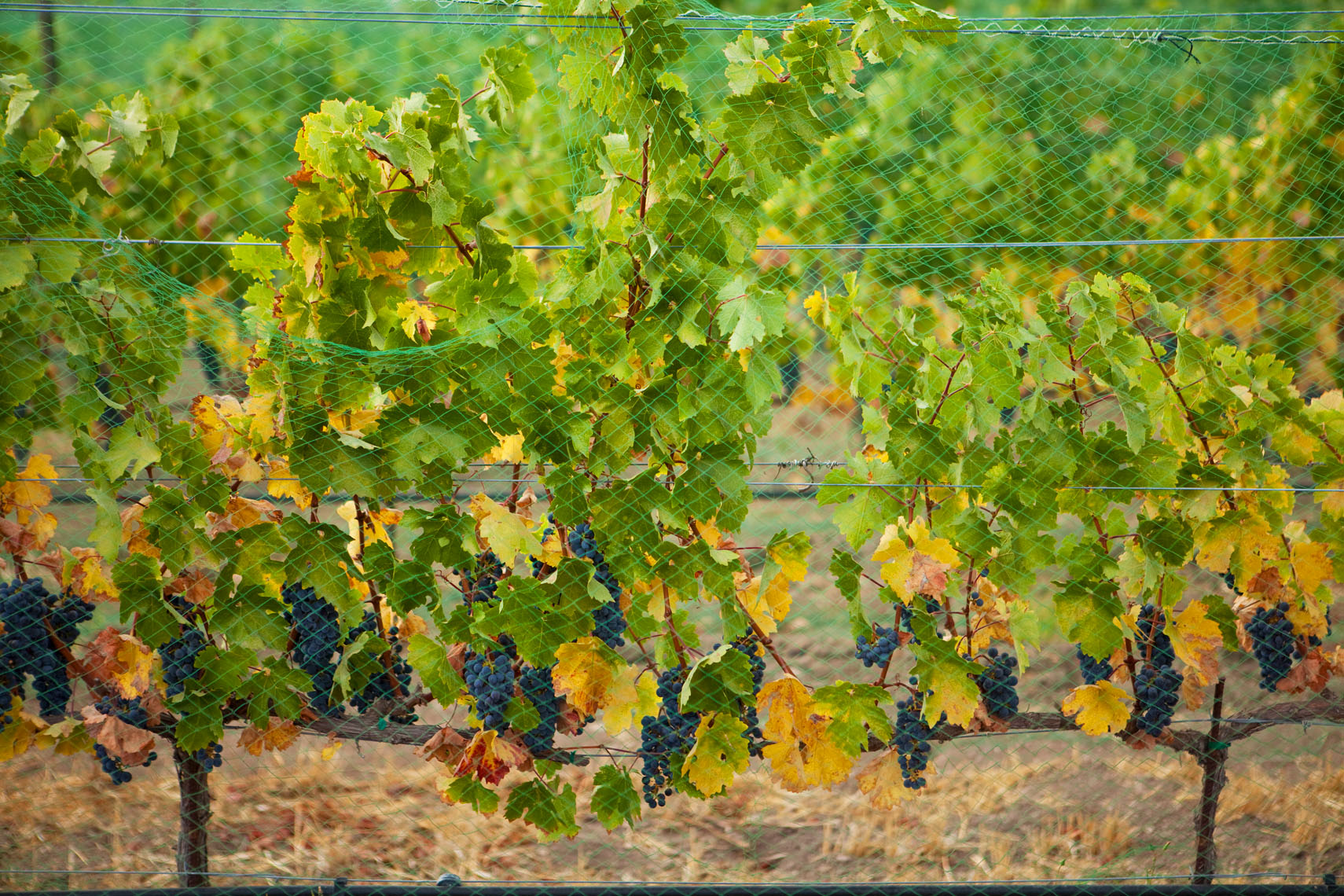 Wine_Grapes_Net