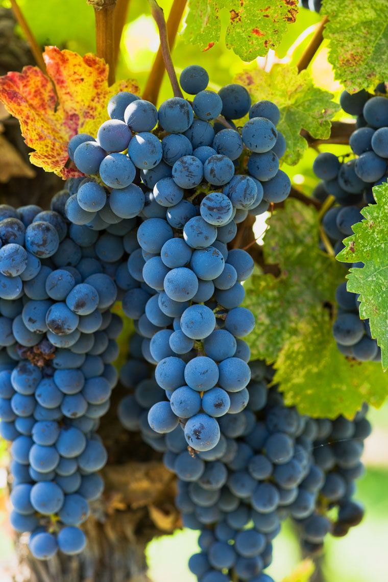 Wine_Merlot_Grapes