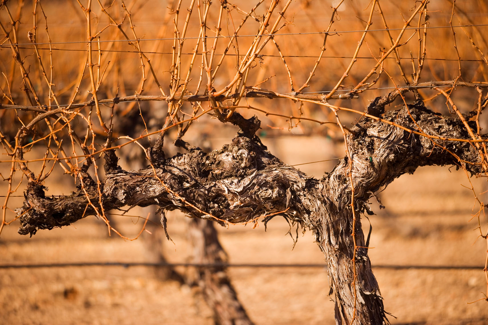 Wine_Winter_Vines
